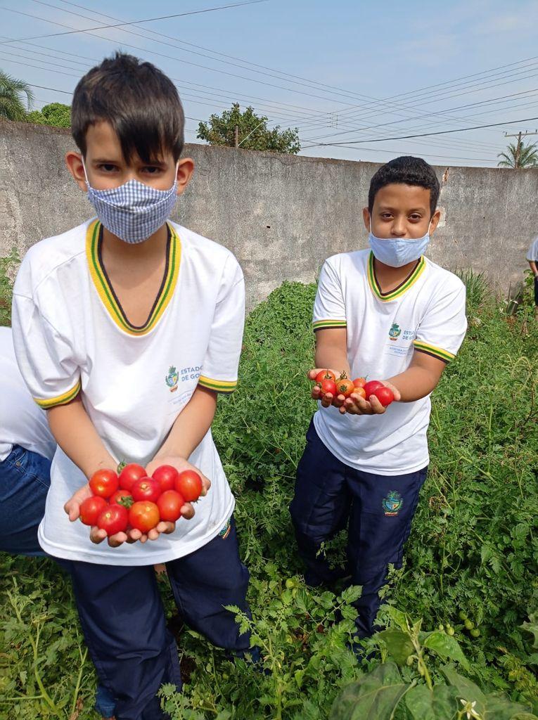 alunos colhendo tomates